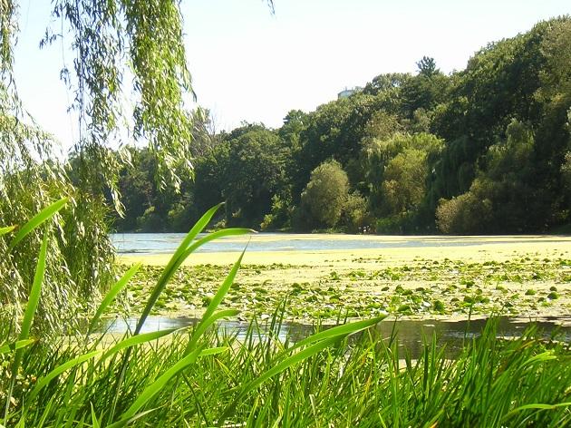 Les carpes aiment les herbiers dans les étangs.