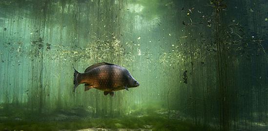 Carpe commune sous l'eau